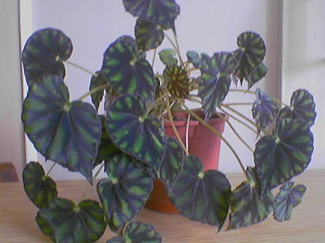 комнатный цветок бегония уход в домашних условиях фото
